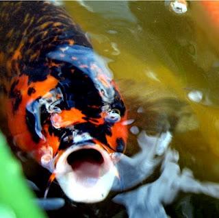 Koi aqua animania for Aquarium pond fish pdf