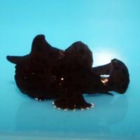 Anglers and Frogfish