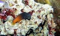 Bicolor Blenny - Ecsenius bicolor