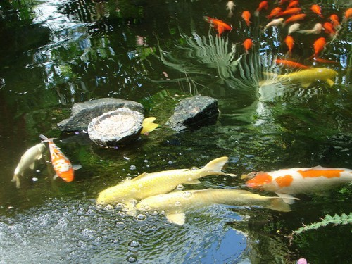 Pond Fish Variety