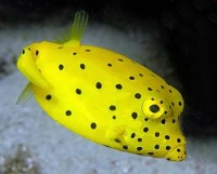 Cubicus Boxfish -Ostracion cubicus