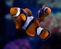 True Percula Clownfish - Amphiprion percula