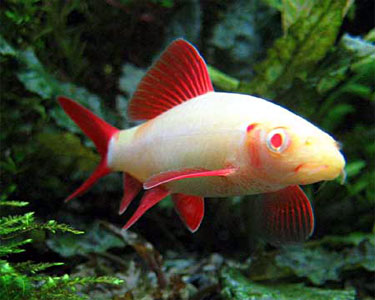Albino rainbow shark aqua animania for Rainbow shark fish