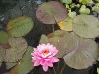 Come see whats blooming in our fish ponds at AQUA GARDENS!