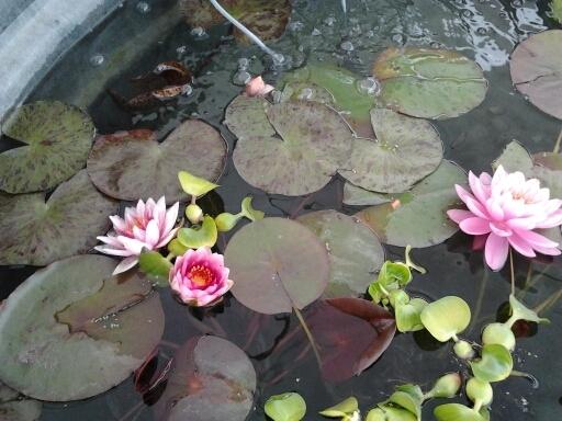 Pond Plants, Lillies and Lotus