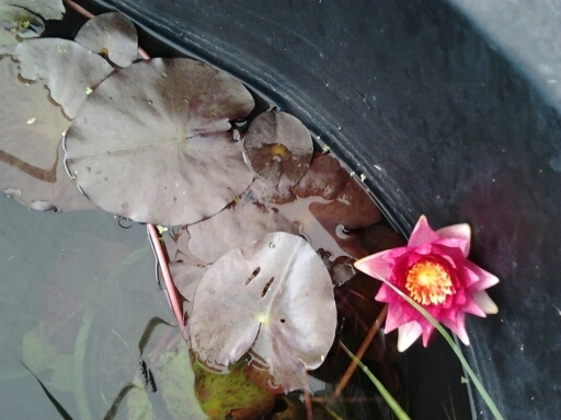 Pond Plants, Lillies and Lotus