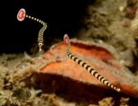 Banded Pipefish - Doriorhamphus dactyliophorus