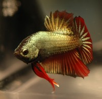 Bettas - Betta splendens