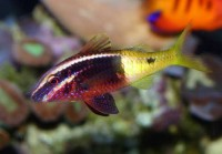 Bicolor Goatfish - Parupeneus barberinoides