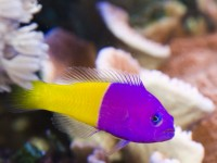 Bicolor Pseudo (Dottyback) - Pseudochromis paccagnellae