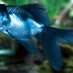 Blue Oranda Goldfish - Carassius auratus