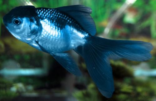 blue goldfish ile ilgili görsel sonucu