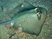 Blue-spotted Stingray - Dasyatis-kuhlii