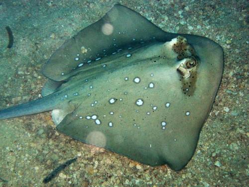 Blue spotted stingray aqua animania for Is a stingray a fish