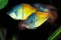 Boesemani Rainbow Fish - Melanotaenia boesemani