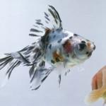 Calico Fantail Goldfish - Carassius auratus