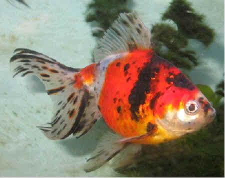 Calico fantail aqua animania for Calico koi fish