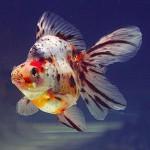 Calico Ryukin Goldfish - Carassius auratus