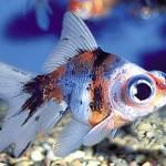 Calico Telescope Moor Goldfish - Carassius auratus