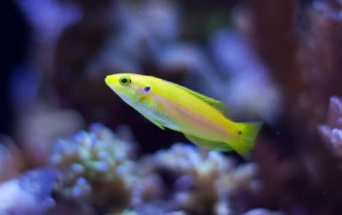 Twinspot Candy Hogfish - Bodianus bimaculatus