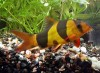 Clown Loach - Chromobotia macracanthus