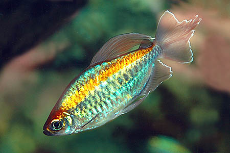 Congo tetra aqua animania for Ornamental pond fish types