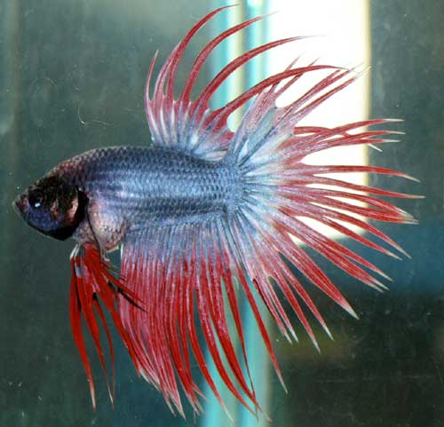 Crown tail betta aqua animania for Crowntail betta fish
