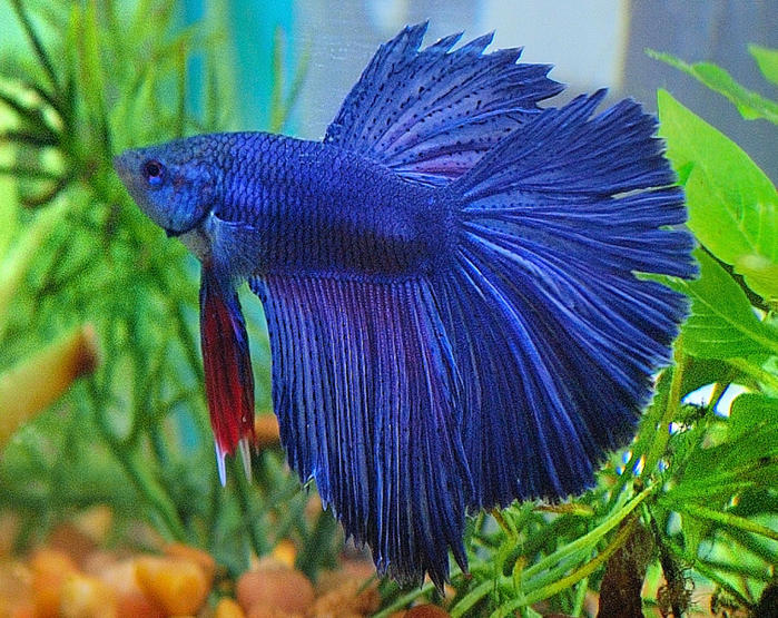 Delta Tail Betta - Betta splendens