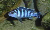 Demasoni Cichlid - Pseudotropheus demasoni