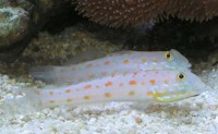 Diamond Watchman Goby - Valenciennea puellaris