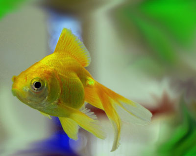 Yellow comet goldfish