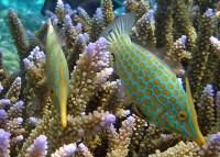 Orangespotted Filefish - Oxymonacanthus longirostris