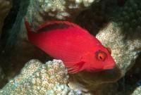Flame Hawkfish - Neocirrhites armatus