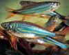 Giant Danio - Devario aequipinnatus