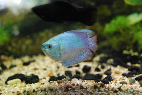 Neon Blue Dwarf Gourami Aqua Animania