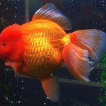 Oranda Goldfish - Carassius auratus