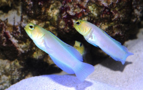 Pearly Jawfish; Alt. Opistognathus aurifrons (M)