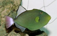 Pink Tail Trigger - Melichthys vidua