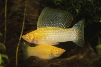 Golden Sailfin Molly - Poecilia latipinna