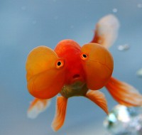 Red Bubble Eye Goldfish - Carassius auratus