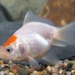 Red Cap Fantail Goldfish - Carassius auratus