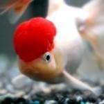 Red Cap Oranda Goldfish - Carassius auratus