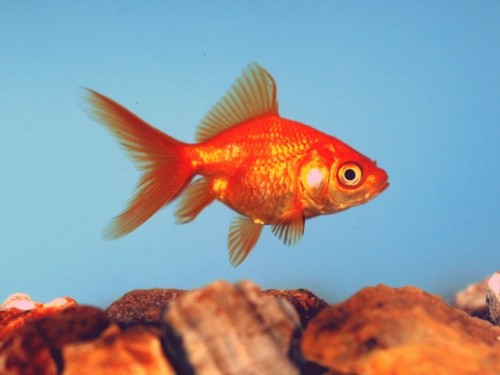Red Fantail | AquA AnimaniA