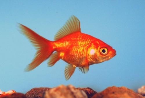 Red Fantail Goldfish - Carassius auratus