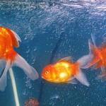 Red Lionhead Goldfish - Carassius auratus