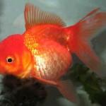 Red Oranda Goldfish - Carassius auratus