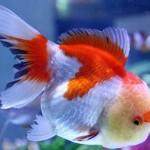 Red andWhite Oranda Goldfish - Carassius auratus