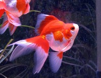 Red and White Ryukin Goldfish - Carassius auratus