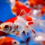 Sarasa Fantail Goldfish - Carassius auratus