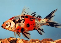 Shubunkin Goldfish - Carassius auratus